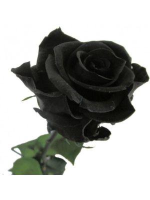 Amorosa Premium Zwart