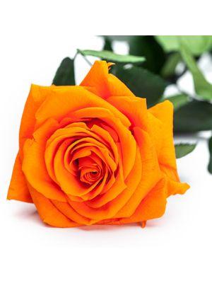 Amorosa Premium Oranje
