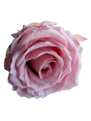 Amorosa Premium Pastel Rose